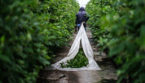 Imigrantes são descartáveis?Trabalho digno na agricultura.